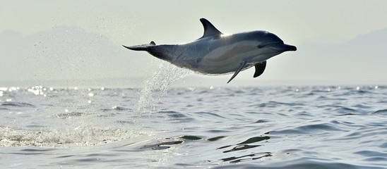 FototapetaDolphin, swimming in the ocean. Dolphin swim and jumping from the water. The Long-beaked common dolphin (scientific name: Delphinus capensis) in atlantic ocean.