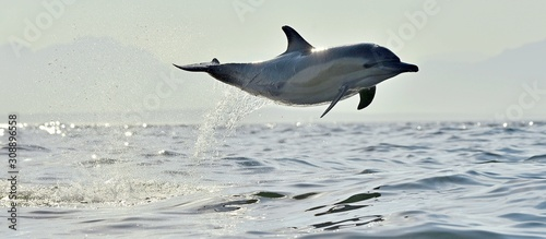 Canvastavla Dolphin, swimming in the ocean