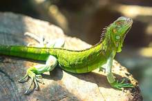 The Lizard Rests In The Natura...