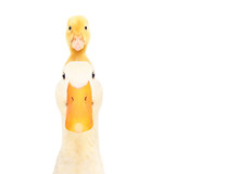Portrait Of A Duck With A Duckling On His Head Isolated On A White Background.JPG