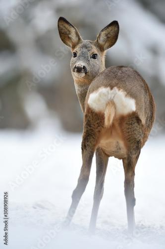roe deer showing its arse in winter Wallpaper Mural