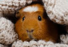 Funny Cute Guinea Pig Hiding I...