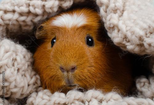 Cuadros en Lienzo Funny cute guinea pig hiding in a knitted woolen scarf