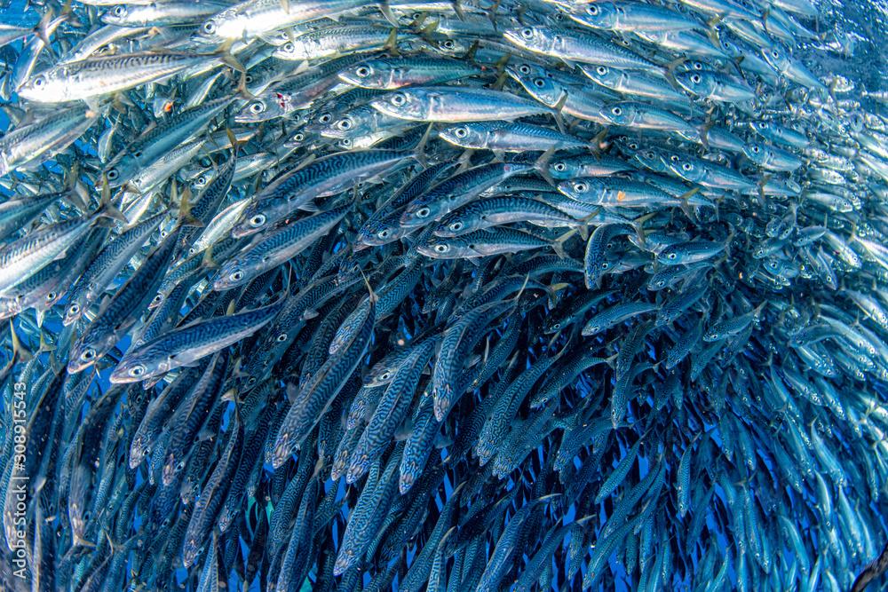 sardine school of fish underwater close up