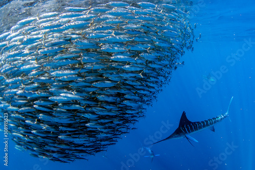 Photo Striped marlin and sea lion hunting in sardine bait ball in pacific ocean