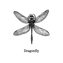 Dragonfly Vector Illustration. Hand Drawn Sketch Of Insect In Vintage Style.