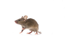 Gray Common House Mouse Isolated On White Background