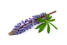 Purple Lupin Flower Isolated On White Background.