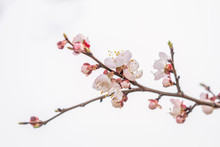 Pink Apricot Tree Blossom In T...