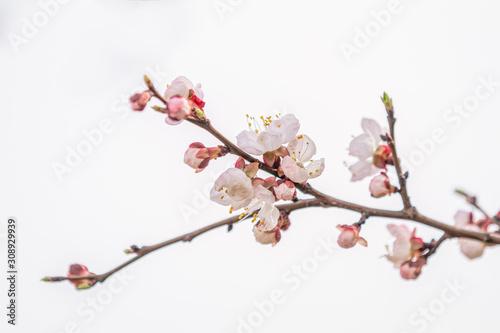 Pink apricot tree blossom in the city park on spring sunny day Tapéta, Fotótapéta