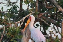 Yellow Billed Stork Botswana