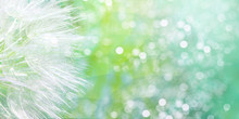 Dandelion Seeds Flying Away. S...