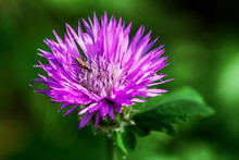 Purple Thistle Flower With The...