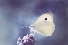 White Cabbage Butterfly Against Blurred Bokeh Background