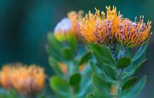 Leucospermum Pincushion Protea...