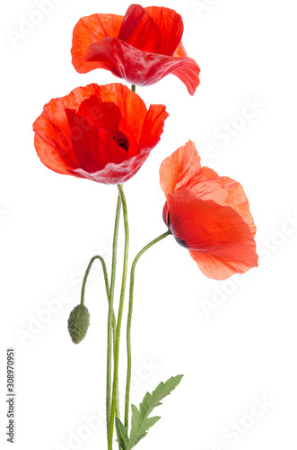 Obraz bouquet of red poppies isolated on white background. - fototapety do salonu