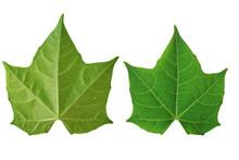 Green Leaf Chaya Isolated On White Background