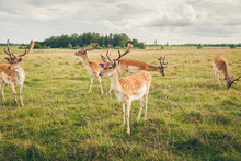 Beautiful Fallow Deers In The Field