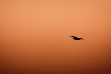 A Sea Eagle In Flight At Sunset