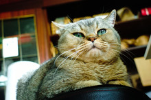 British Brown Cat Closeup Port...