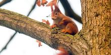 Pretty Red Squirrel Says Hello...