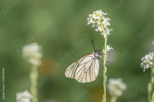 Butterfly - Black-Veined White, Aporia crataegi, on with flower Canvas Print