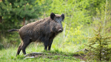 Dominant Wild Boar, Sus Scrofa, Displaying On A Hill Near Little Spruce Tree. Wild Animal Standing On A Horizon On Horizon On Glade In Forest. Strong Mammal In Wilderness.