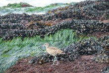 A Whimbrel Bird Searching For ...