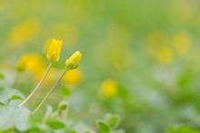 Ficaria Verna, Lesser Celandine, Pilewort Or Ranunculus Ficaria Yellow Spring Flowers Close Up. Ficaria Verna, Ranunculus Ficaria L., Lesser Celandine Or Pilewort, Fig Buttercup Yellow Flowers.