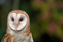 Close Up Of A Barn Owl Looking...
