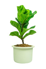 Fiddle Fig Or Ficus Lyrata Iso...