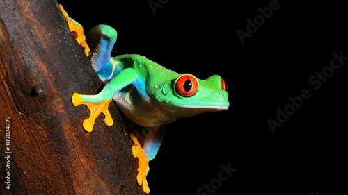 Fotografie, Obraz Green tree frog (Agalychnis callidryas) with red eyes, close-up