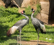Two Grey Crowned Cranes (balearica Regulorum) Mating