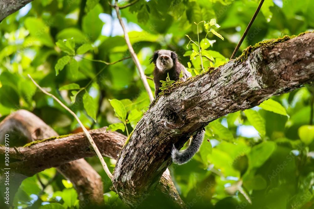 Fototapeta Monkey photographed in Cariacica, Espirito Santo. Southeast of Brazil. Atlantic Forest Biome. Picture made in 2014.