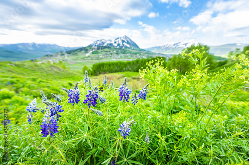 Mount Crested Butte, Colorado in background in summer with green grass and foreground of purple blue lupine flowers wide angle view