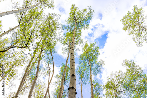 Aspen forest trees grove pattern in summer low angle view looking up at sky in S Wallpaper Mural