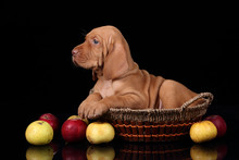 Cute Puppy Vizsla In The Baske...