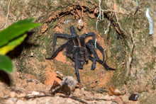 Tarantula Photographed In Linh...