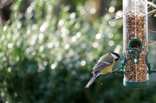 Great Tit Eats Seeds From A Bi...