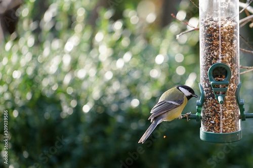 great tit eats seeds from a bird feeder hanging in the garden in winter Fototapet