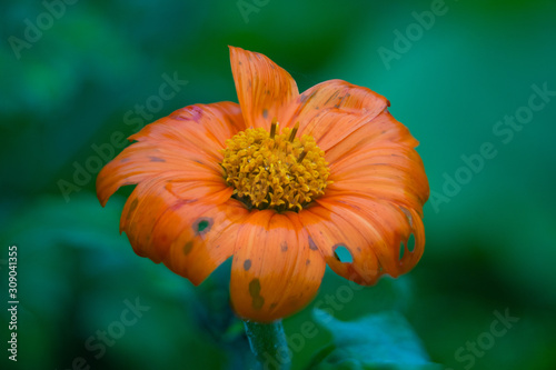 Mexican Sunflower Summer Bloom