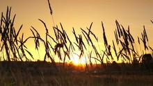 Tall Dry Grass In Field. Wheat.