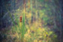 Summer Cattail In Wetland