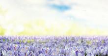Field Of Blue Flowers