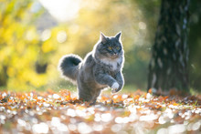 Playful Blue Tabby Maine Coon Cat Running On Autumn Leaf Covered Grass In The Sunlight