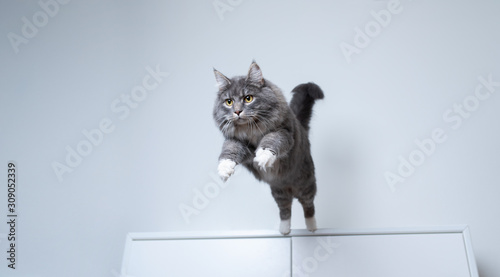 young blue tabby maine coon cat with white paws jumping off a white cupboard ind Poster Mural XXL
