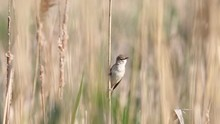 Wild Bird Sings In The Spring In The Reeds