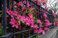 Beautiful Bright Pink Azaleas Line A Wrought Iron Fence