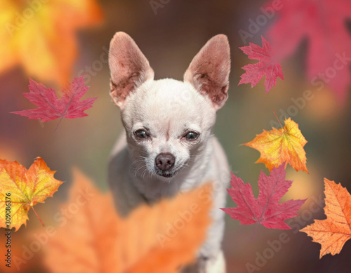 Photo cute chihuahua sitting in front falling leaves