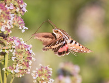 White Lined Sphinx Moth Hoveri...